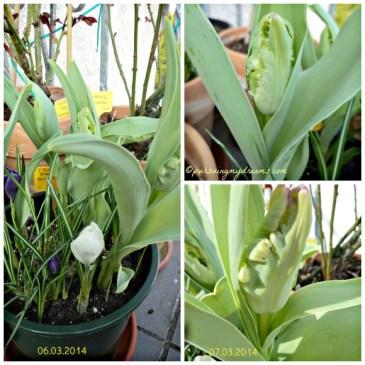 Pertumbuhan Tulip Black Parrot