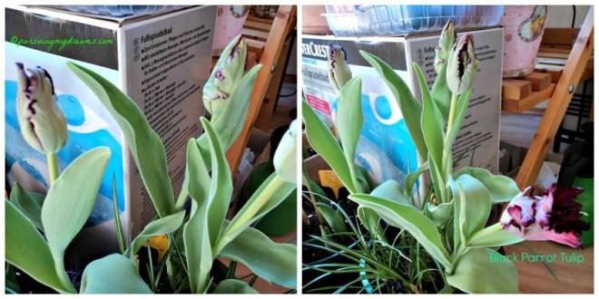 Black Parrot Tulip dari warna awal hijau kemudian berubah menjadi hitam