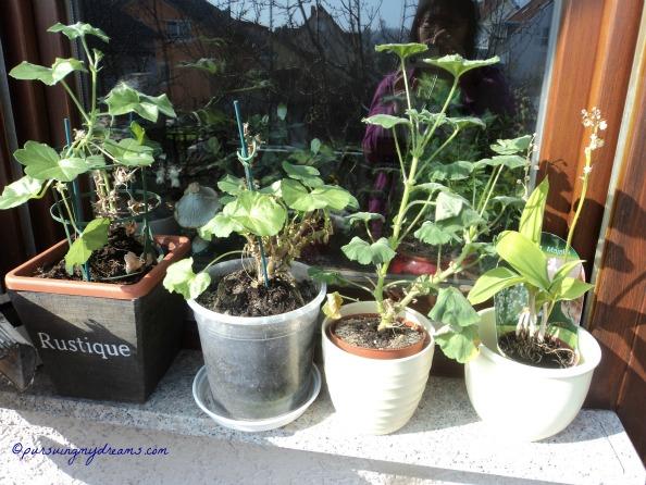3 Pot Geranium akhir bulan ini akan ganti media tanamnya. Kalau malam masih taruh rumah dulu karena masih dingin. Paling kanan Lily Of Valley