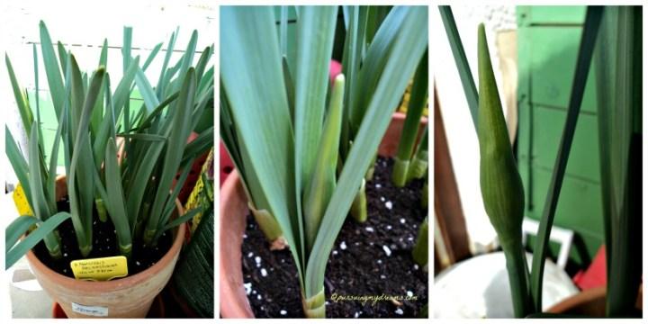 Narcissus Delnashaugh sudah kelihatan Bakal Bunganya