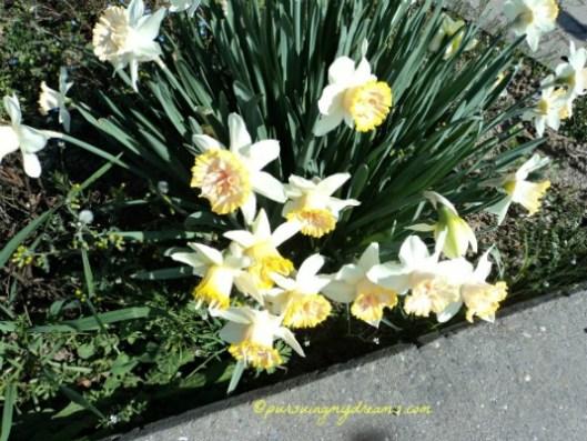 Narcissus yang saya temui di tepi jalan. Foto 21 Maret 2014