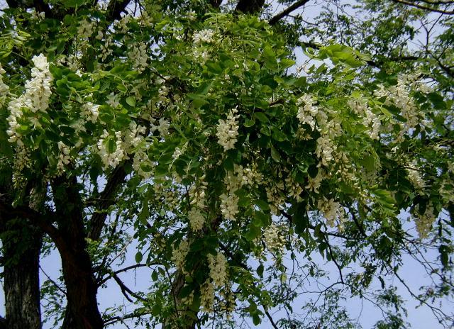 Robinia pseudoacacia. Foto dari wikipedia