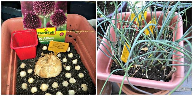 Allium kecil numbuh seperti daun bawang saja, tidak keluar bunganya. Bibit yg besar ditengah itu Kaiser's crown kaga numbuh huhuhu