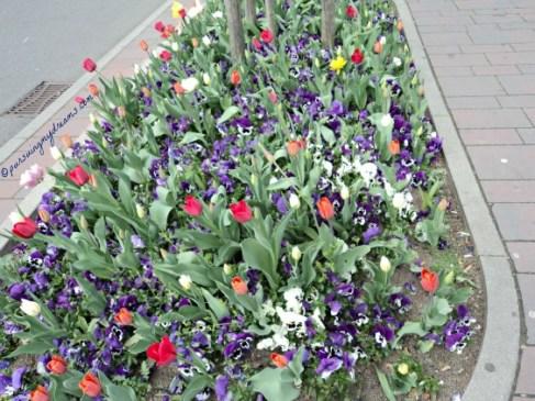 Tulip-tulip di Taman Kota