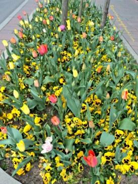 Dibagian ini lebih Tulip banyak warna Orange