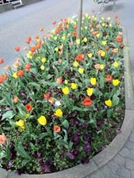 Kombinasi Tulip Kuning dan Orange