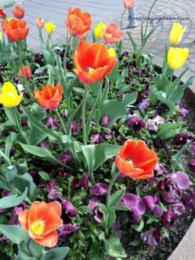 Saya suka sekali tulip Orangenya