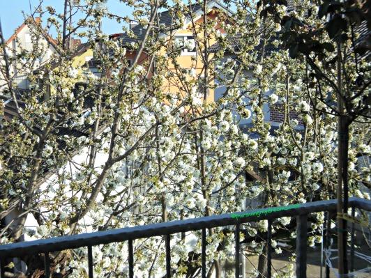 Bunga Ceri yang mulai mekar.  2 April 2014