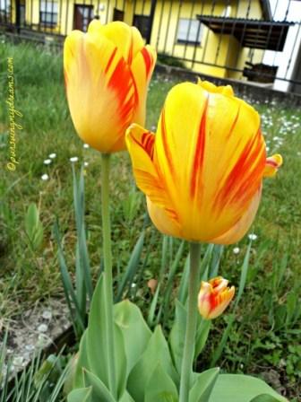Cantik seklai ya perpaduan warna tulipnya