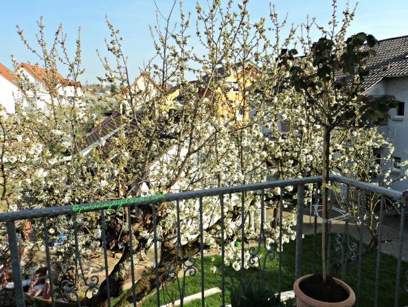 Dari balkon belakang rumahku, Bunga Pohon ceri yang mekar. Foto 2 April 2014 jam 4.44 sore