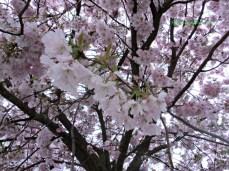 Kirschblüten vor Frühlingshimmel in Bad Rappenau