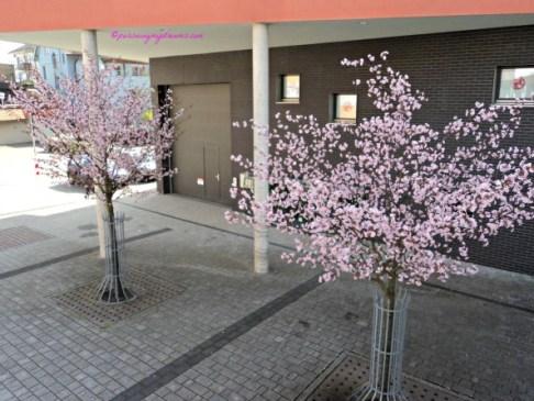 Pohon Bunga Sakura di Bad Rappenau