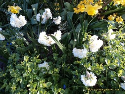 Narcissus kuning bagian belakang dan yang ditengah Narcissus putih