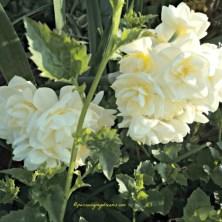 Awalnya saya kurang pasti apakah ini Narcissus atau tidak, karena bentuknya unik banget, setelah lihat-lihat di Internet