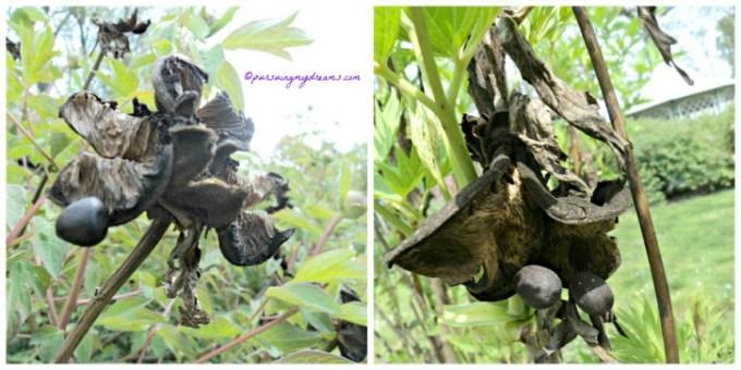 Biji Paeonia ludlowii. Paeonia lutea var. ludlowii seeds