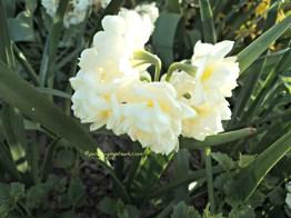 Bunga Daffodil atau disebut juga Jonquil Putih. Ini saya potret dari taman rumah orang yang tamannya tidak dipagar