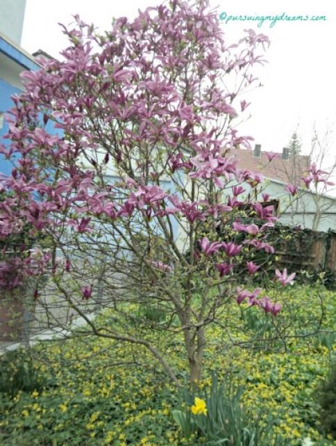 Magnolia liliiflora. Warna ini jarang saya lihat. Ini saya potret di kota tempat tinggal saya Sinsheim. Foto 1 April 20