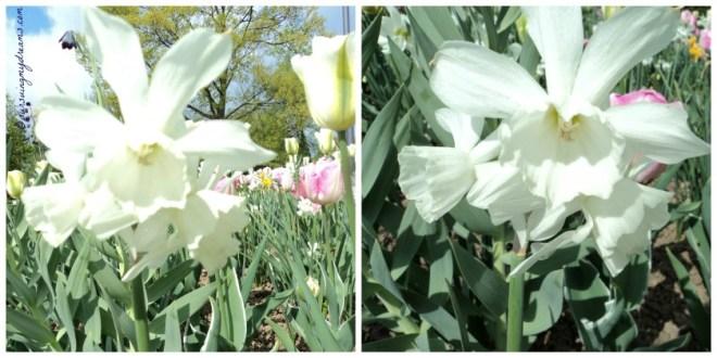 Cantik ya Bentuk bunga Daffodil nya