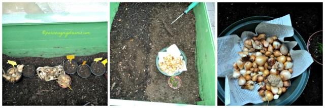 Umbi-umbi Bunga musim semi yang sudah saya bersihkan saya tanam dibagian bawah tanaman tomat