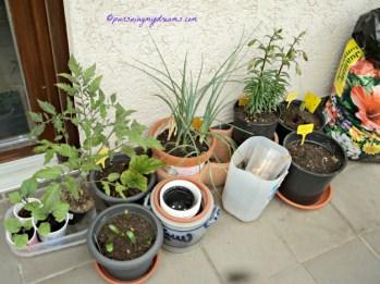 Semangat Musim panas deh, lili mulai terlihat banyak bakal bunganya, begonia gantung makin besar, terong, tomat