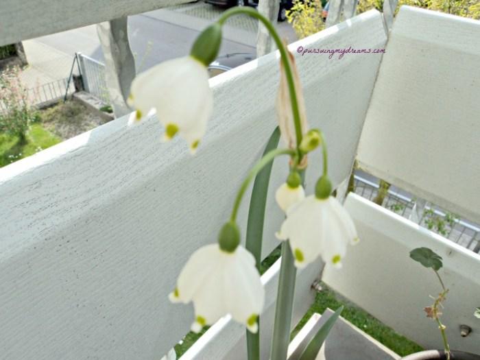 Sommer-Knotenblume (Leucojum aestivum)