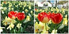 Foto 11. Tulip Orange kombinasi diantara Bunga Daffodil
