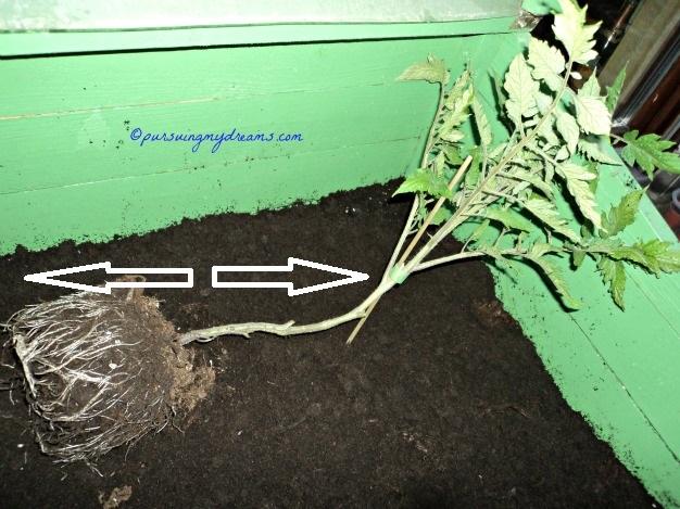 Tanam tanaman tomatnya dengan metode begini akan memperkuat tanamannya