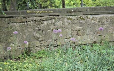 Hamparan Bunga Allium