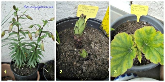 Lili Tigrinum, Lili Ungu Oriental dan Begonia Gantung Pendula Cascade semoga makin besar dan Berbunga cantik yaa