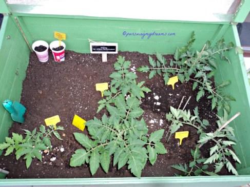 Taraaa inilah Beberapa Jenis tomat 2014 yang saya tanam