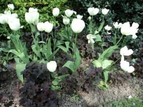 Tulip Putih