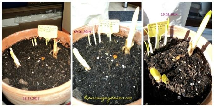 Bibit umbi Bunga Loddon Lily (Leucojum aestivum) mulai tumbuh