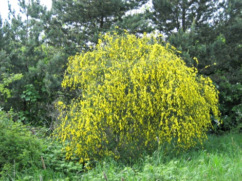 Cytisus scoparius, the common broom or Scotch broom. Foto dari wikipedia