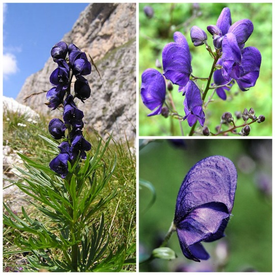 Monkshood, aconite, Wolf's Bane, Fuzi, Monk's Blood, or Monk's Hood. Blauer Eisenhut (Aconitum napellus). Foto dari Wikipedia