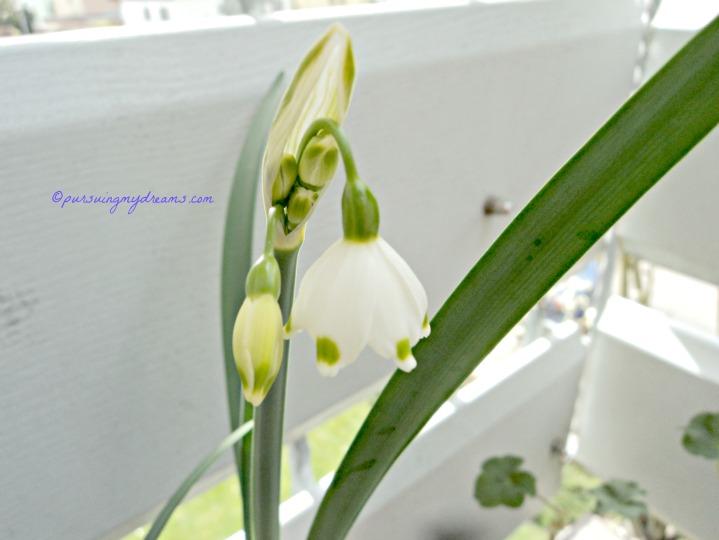 Horee satu bunga sudah mekar. Loddon Lily (Leucojum aestivum)