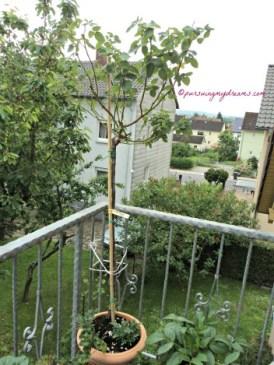 Pohon Mawar Mc Cartney Belum menunjukkan tanda-tanda berbunga