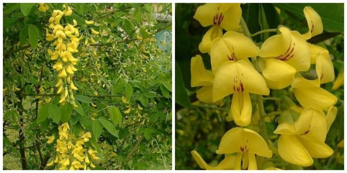 Goldregen. Golden Rain. Nama Latinnya Laburnum anagyroides. Foto dari Wikipedia