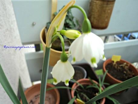 Loddon Lily