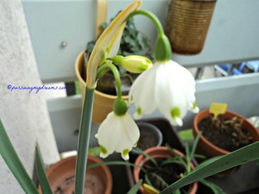 Loddon Lily. Leucojum aestivum keluarga Amaryllidaceace. 05 April 2014