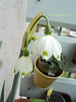 Spätblühende Knotenblume (Leucojum aestivum L.) 05 April 2014