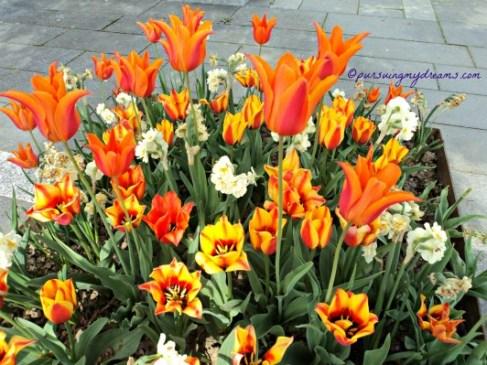 Hampir Pingsan sangking TERPESONA dengan Warna Orange tulipnya