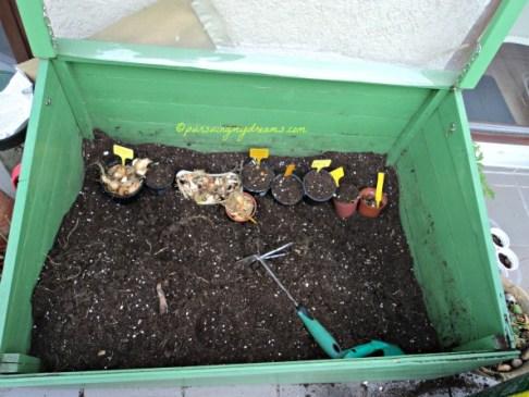 Di bagian bawah green house saya taruh umbi bunga-bunga musim semi, dan bagian atasnya akan saya tanam tomat-tomat