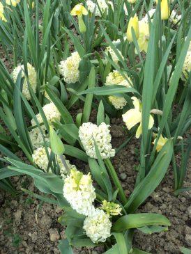 Hyacint kuning Pucat
