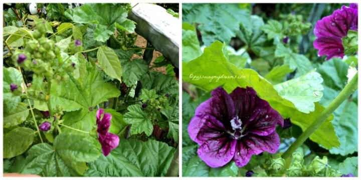 Bunga Malve ini menarik kupu-kupu dan lebah berkumpul sekitarnya. Tinggi tanaman ini mencapai 1 meter