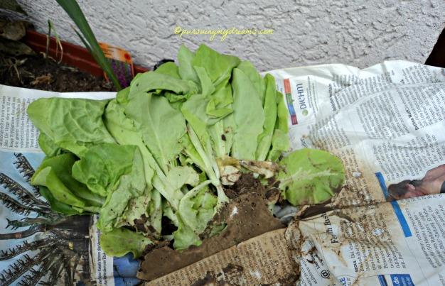 Tanaman Salat siap ditanam