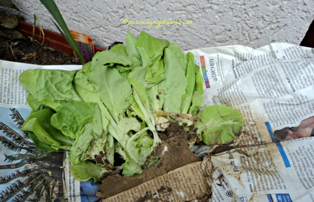 Update Kebun Sayuranku. Tanaman Salat siap ditanam