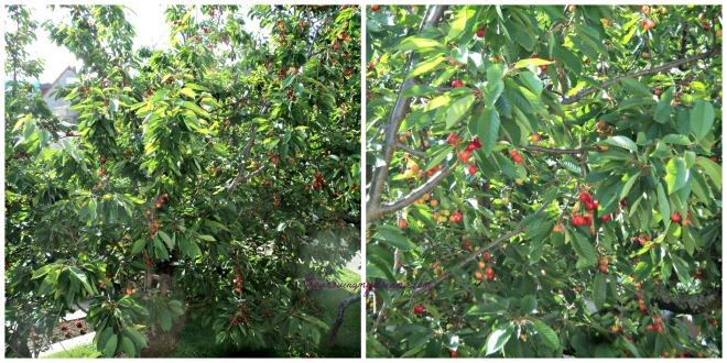 Banyak sekali buah cherry tetanggaku ini, jadi mupeng pengen minta