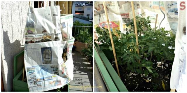 Saat Musim Panas beginilah saya melindungi tanaman tomat-tomat saya dari sengatan matahari. Foto Kanan, tanamannya tetap terlihat segar kan