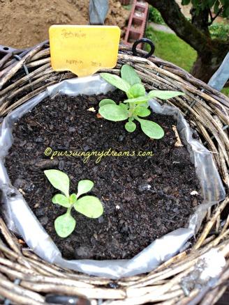 Dari Begitu banyak benih yang saya tanam ternyata hanya 2 Petunia yang tumbuh Baik. Foto 23 Mei 2014
