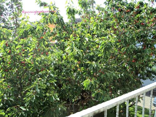 Pohon Cerry Tetangga, semakin merah aja buahnya. Untunglah tuh Pohon tinggi besar bisa melindungi sedikit tanamanku